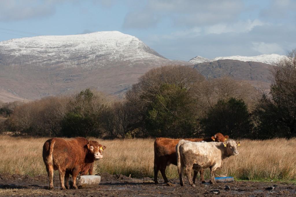 Kühe & schneebedeckte Berge bei Sneem