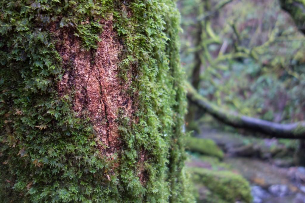 Moosbedeckter Baum am Torc Wasserfall
